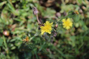 Syrphe sur une fleur jaune
