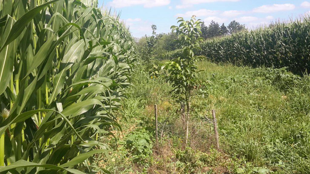 Maïs en agroforesterie